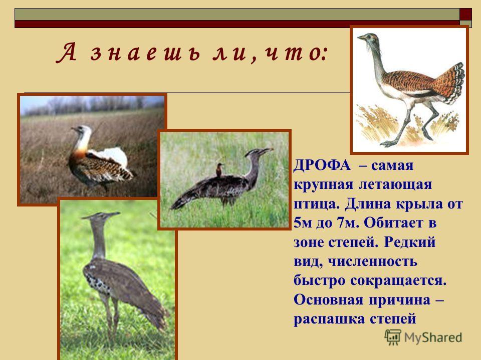 ДРОФА – самая крупная летающая птица. Длина крыла от 5м до 7м. Обитает в зоне степей. Редкий вид, численность быстро сокращается. Основная причина – распашка степей А з н а е ш ь л и, ч т о: