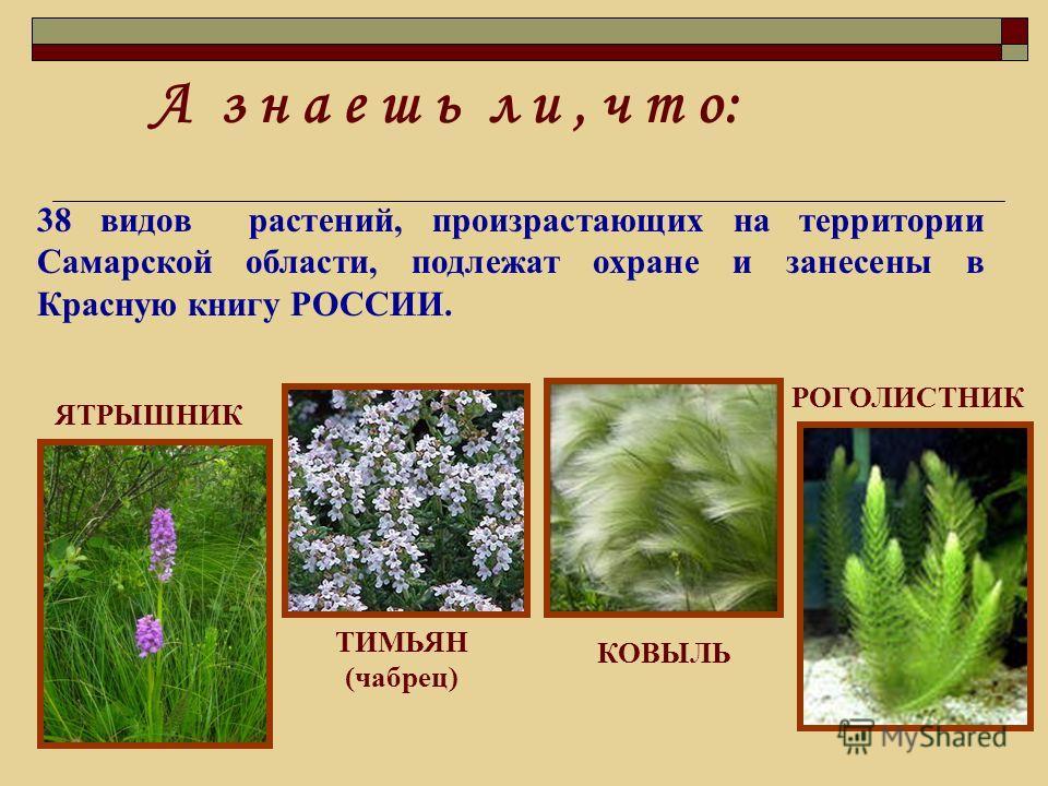 А з н а е ш ь л и, ч т о: 38 видов растений, произрастающих на территории Самарской области, подлежат охране и занесены в Красную книгу РОССИИ. ЯТРЫШНИК РОГОЛИСТНИК ТИМЬЯН (чабрец) КОВЫЛЬ