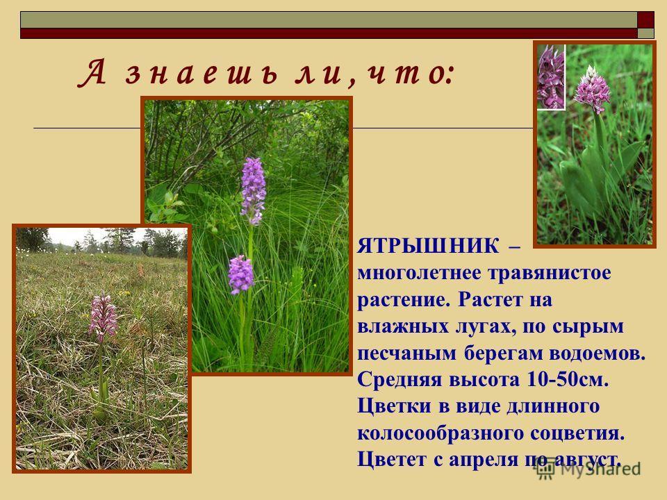 ЯТРЫШНИК – многолетнее травянистое растение. Растет на влажных лугах, по сырым песчаным берегам водоемов. Средняя высота 10-50см. Цветки в виде длинного колосообразного соцветия. Цветет с апреля по август.