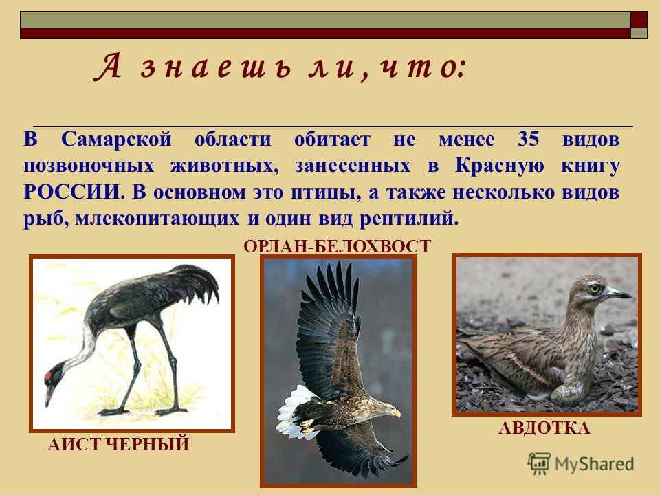 А з н а е ш ь л и, ч т о: В Самарской области обитает не менее 35 видов позвоночных животных, занесенных в Красную книгу РОССИИ. В основном это птицы, а также несколько видов рыб, млекопитающих и один вид рептилий. ОРЛАН-БЕЛОХВОСТ АИСТ ЧЕРНЫЙ АВДОТКА