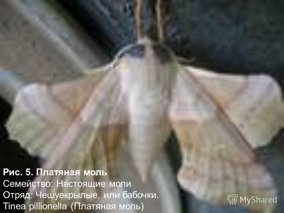 Рис. 5. Платяная моль Семейство: Настоящие моли Отряд: Чешуекрылые, или бабочки. Tinea pillionella (Платяная моль)
