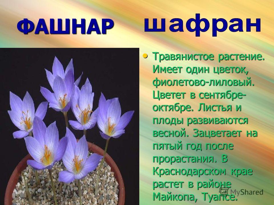 ФАШНАР Травянистое растение. Имеет один цветок, фиолетово-лиловый. Цветет в сентябре- октябре. Листья и плоды развиваются весной. Зацветает на пятый год после прорастания. В Краснодарском крае растет в районе Майкопа, Туапсе. Травянистое растение. Им