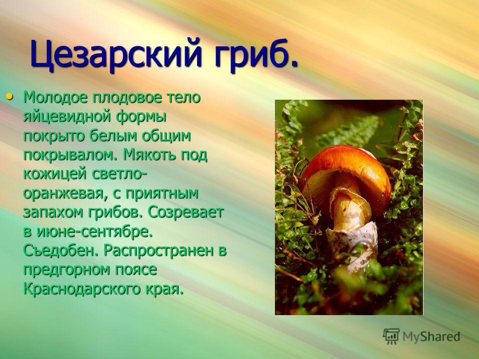Цезарский гриб. Молодое плодовое тело яйцевидной формы покрыто белым общим покрывалом. Мякоть под кожицей светло- оранжевая, с приятным запахом грибов. Созревает в июне-сентябре. Съедобен. Распространен в предгорном поясе Краснодарского края. Молодое