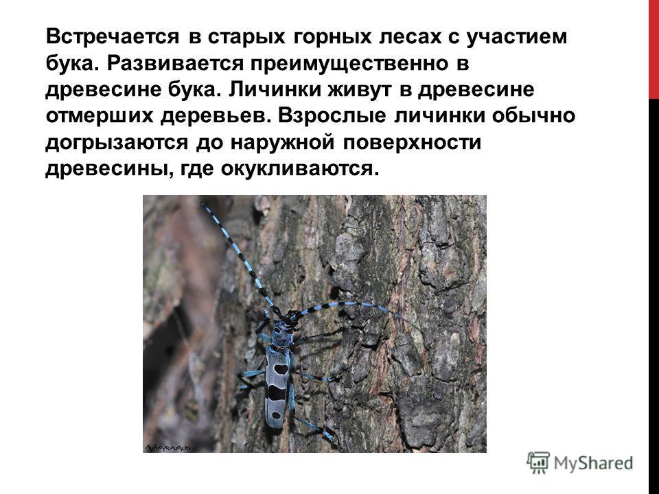 Встречается в старых горных лесах с участием бука. Развивается преимущественно в древесине бука. Личинки живут в древесине отмерших деревьев. Взрослые личинки обычно догрызаются до наружной поверхности древесины, где окукливаются.