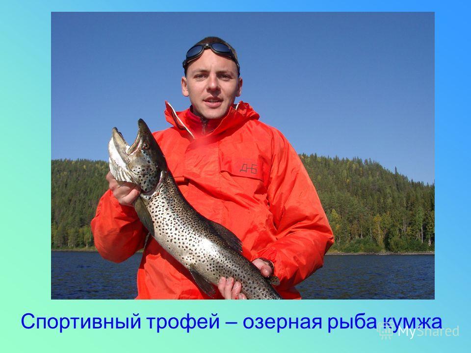 Спортивный трофей – озерная рыба кумжа