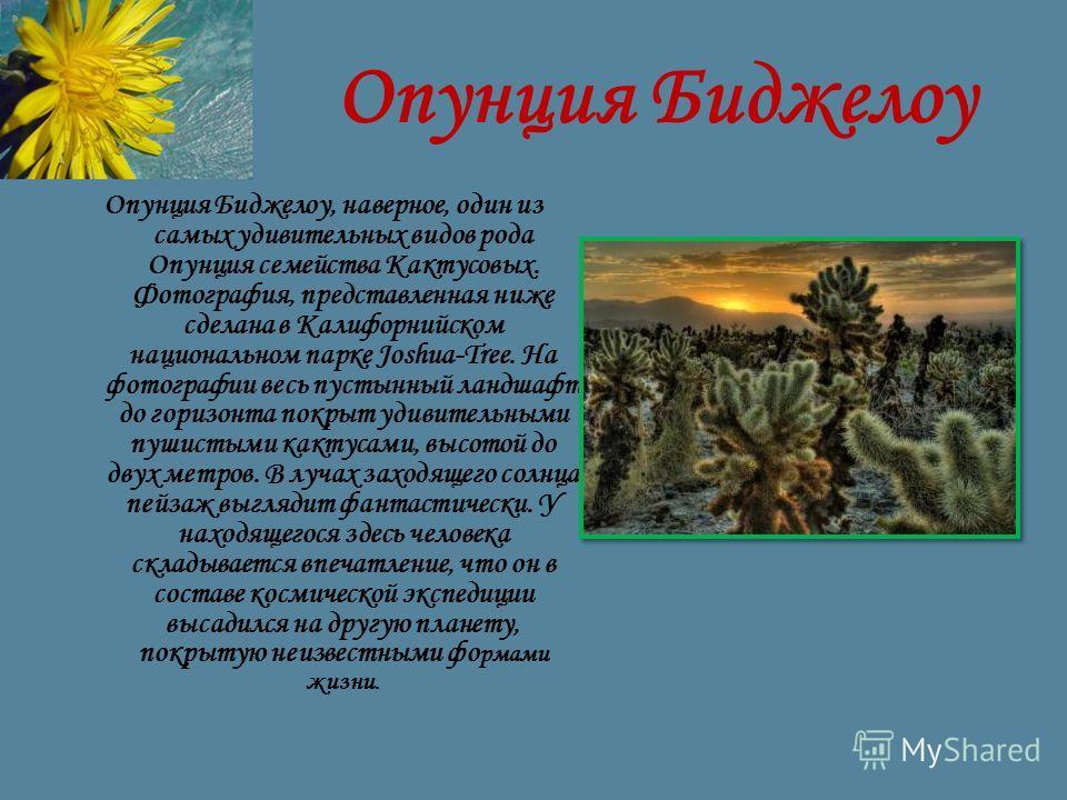 Опунция Биджелоу Опунция Биджелоу, наверное, один из самых удивительных видов рода Опунция семейства Кактусовых. Фотография, представленная ниже сделана в Калифорнийском национальном парке Joshua-Tree. На фотографии весь пустынный ландшафт до горизон
