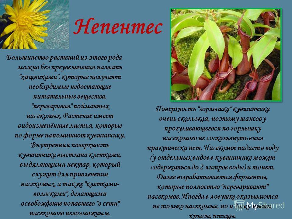 Непентес Большинство растений из этого рода можно без преувеличения назвать