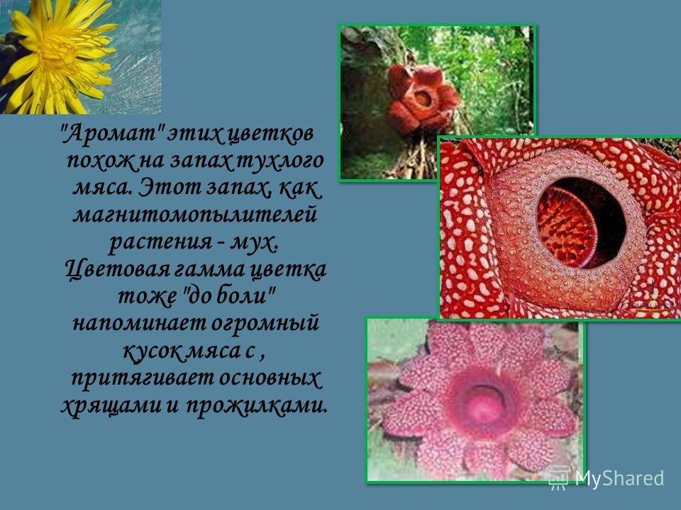 Аромат этих цветков похож на запах тухлого мяса. Этот запах, как магнитомопылителей растения - мух. Цветовая гамма цветка тоже до боли напоминает огромный кусок мяса с, притягивает основных хрящами и прожилками.