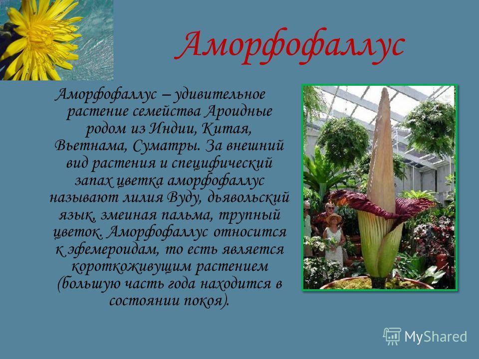 Аморфофаллус Аморфофаллус – удивительное растение семейства Ароидные родом из Индии, Китая, Вьетнама, Суматры. За внешний вид растения и специфический запах цветка аморфофаллус называют лилия Вуду, дьявольский язык, змеиная пальма, трупный цветок. Ам