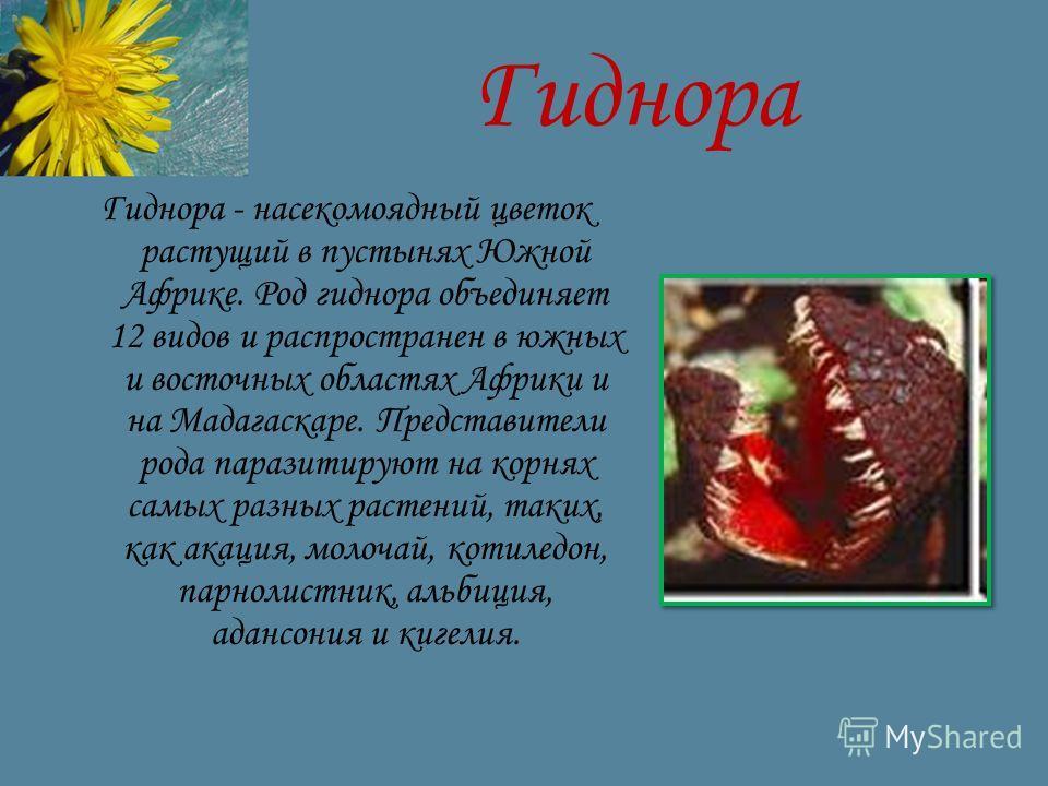 Гиднора Гиднора - насекомоядный цветок растущий в пустынях Южной Африке. Род гиднора объединяет 12 видов и распространен в южных и восточных областях Африки и на Мадагаскаре. Представители рода паразитируют на корнях самых разных растений, таких, как