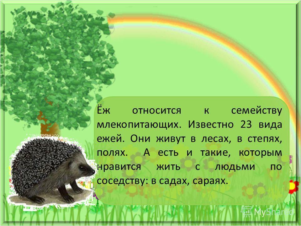 Ёж относится к семейству млекопитающих. Известно 23 вида ежей. Они живут в лесах, в степях, полях. А есть и такие, которым нравится жить с людьми по соседству: в садах, сараях.