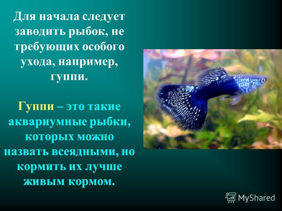 Для начала следует заводить рыбок, не требующих особого ухода, например, гуппи. Гуппи – это такие аквариумные рыбки, которых можно назвать всеядными, но кормить их лучше живым кормом.