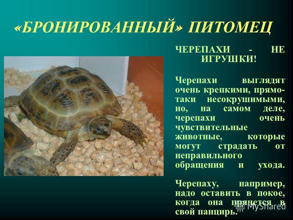 « БРОНИРОВАННЫЙ » П ИТОМЕЦ ЧЕРЕПАХИ - НЕ ИГРУШКИ! Черепахи выглядят очень крепкими, прямо- таки несокрушимыми, но, на самом деле, черепахи очень чувствительные животные, которые могут страдать от неправильного обращения и ухода. Черепаху, например, н