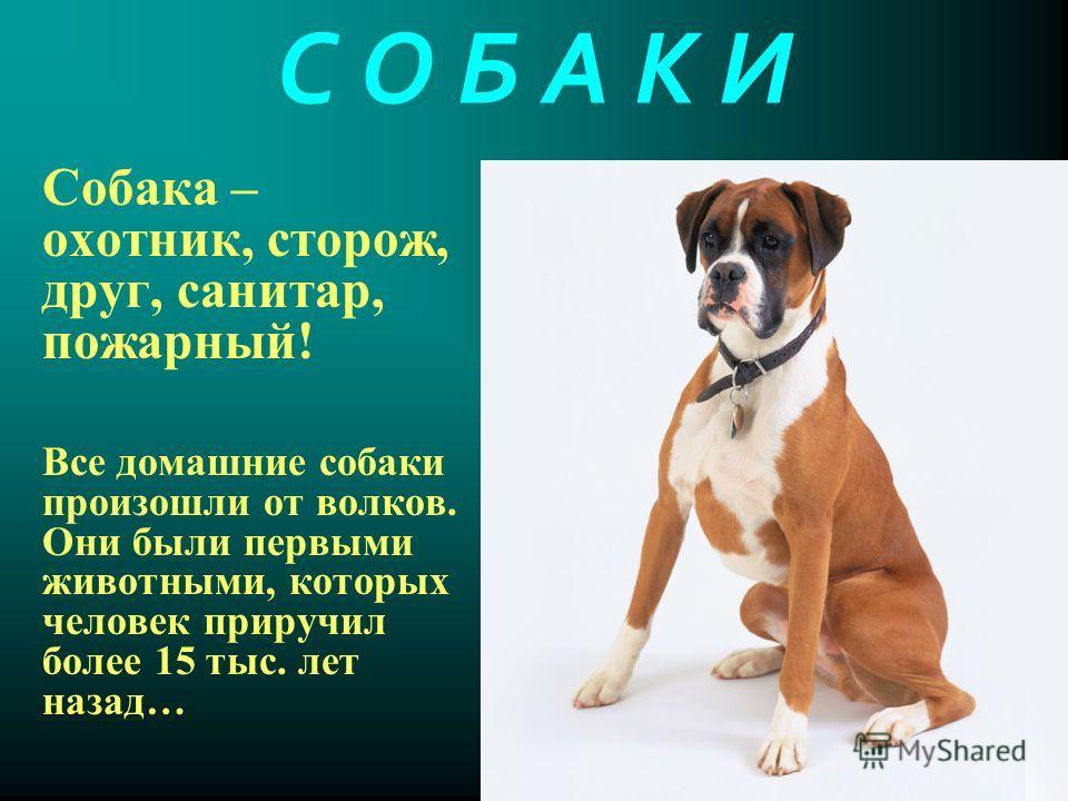С О Б А К И Собака – охотник, сторож, друг, санитар, пожарный! Все домашние собаки произошли от волков. Они были первыми животными, которых человек приручил более 15 тыс. лет назад…