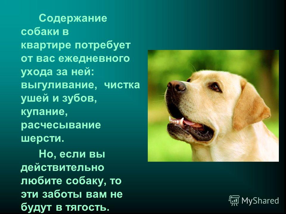 Содержание собаки в квартире потребует от вас ежедневного ухода за ней: выгуливание, чистка ушей и зубов, купание, расчесывание шерсти. Но, если вы действительно любите собаку, то эти заботы вам не будут в тягость.