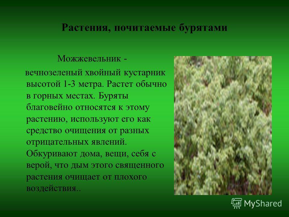Растения, почитаемые бурятами Можжевельник - вечнозеленый хвойный кустарник высотой 1-3 метра. Растет обычно в горных местах. Буряты благовейно относятся к этому растению, используют его как средство очищения от разных отрицательных явлений. Обкурива