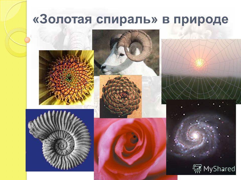 «Золотая спираль» в природе
