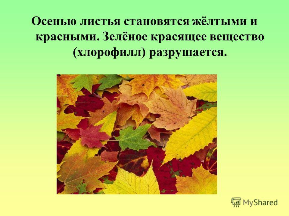 Листопад С приходом осени листья на деревьях и кустарниках изменили свою окраску и начали опадать. С понижением температуры воздуха, изменение окраски листьев идёт всё интенсивнее. Быстрее идёт и листопад. Особенно сильно опадают листья после замороз