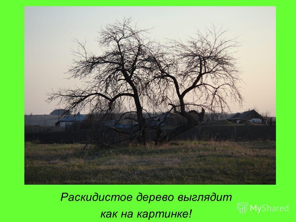 Раскидистое дерево выглядит как на картинке!
