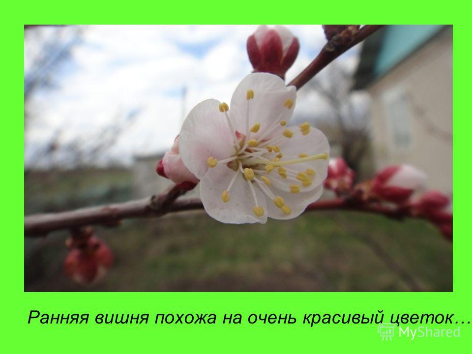 Ранняя вишня похожа на очень красивый цветок…