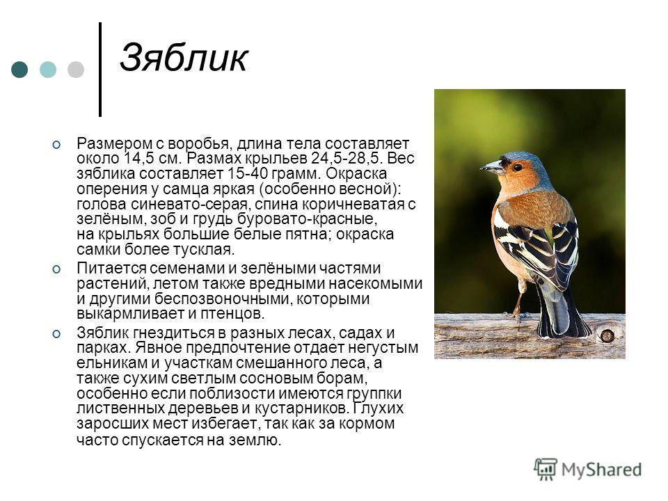 Зяблик Размером с воробья, длина тела составляет около 14,5 см. Размах крыльев 24,5-28,5. Вес зяблика составляет 15-40 грамм. Окраска оперения у самца яркая (особенно весной): голова синевато-серая, спина коричневатая с зелёным, зоб и грудь буровато-