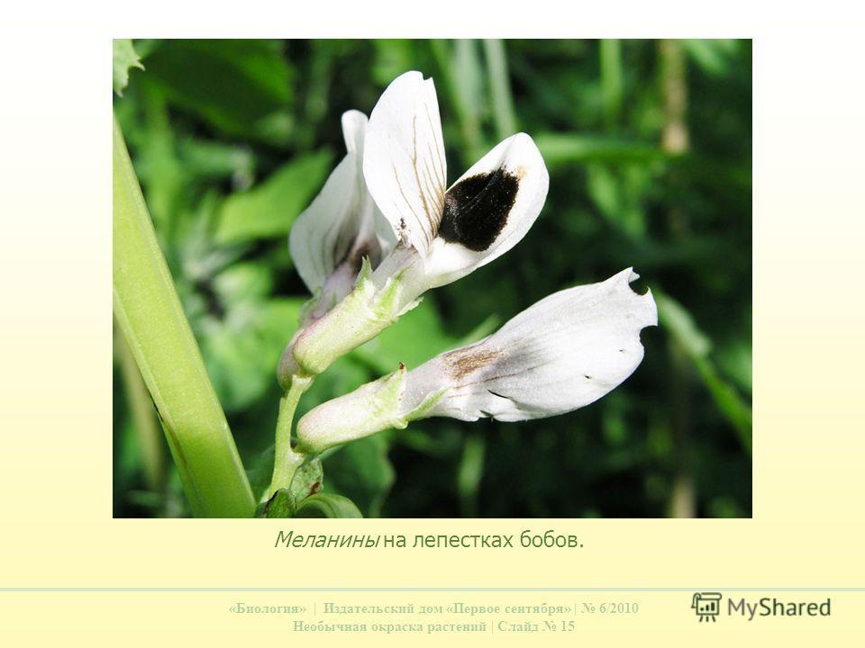 «Биология» | Издательский дом «Первое сентября» | 6/2010 Необычная окраска растений | Слайд 15 Меланины на лепестках бобов.
