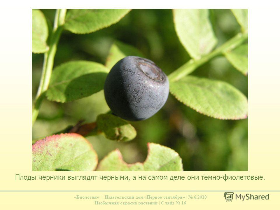 «Биология» | Издательский дом «Первое сентября» | 6/2010 Необычная окраска растений | Слайд 16 Плоды черники выглядят черными, а на самом деле они тёмно-фиолетовые.