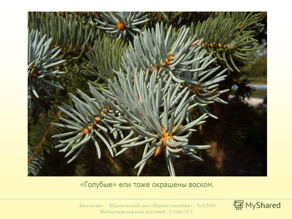 «Биология» | Издательский дом «Первое сентября» | 6/2010 Необычная окраска растений | Слайд 2 «Голубые» ели тоже окрашены воском.
