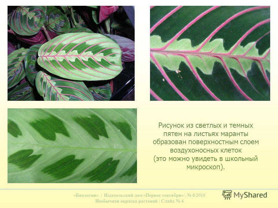 «Биология» | Издательский дом «Первое сентября» | 6/2010 Необычная окраска растений | Слайд 4 Рисунок из светлых и темных пятен на листьях маранты образован поверхностным слоем воздухоносных клеток (это можно увидеть в школьный микроскоп).