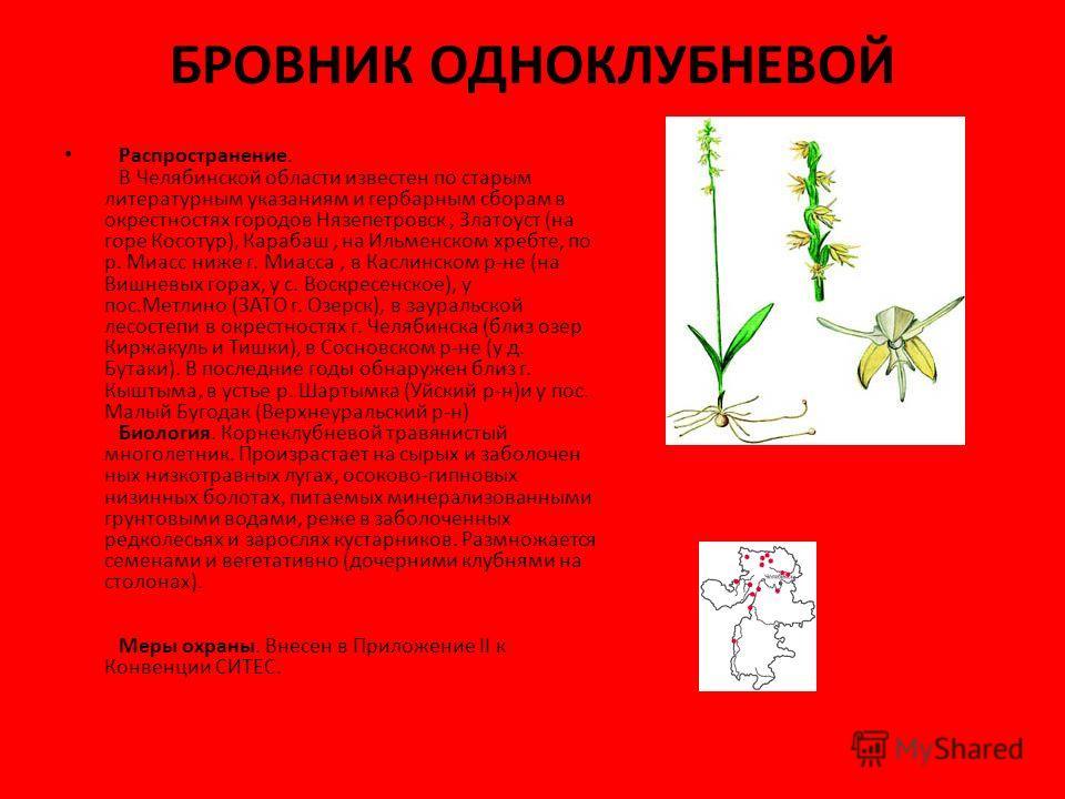 БРОВНИК ОДНОКЛУБНЕВОЙ Распространение. В Челябинской области известен по старым литературным указаниям и гербарным сборам в окрестностях городов Нязепетровск, Златоуст (на горе Косотур), Карабаш, на Ильменском хребте, по р. Миасс ниже г. Миасса, в Ка