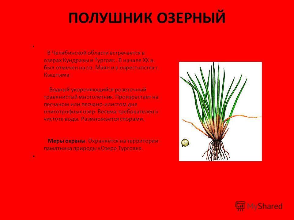 ПОЛУШНИК ОЗЕРНЫЙ В Челябинской области встречается в озерах Кундравы и Тургояк. В начале XX в. был отмечен на оз. Маян и в окрестностях г. Кыштыма Водный укореняющийся розеточный травянистый многолетник. Произрастает на песчаном или песчано-илистом д