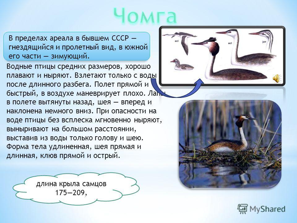 В пределах ареала в бывшем СССР гнездящийся и пролетный вид, в южной его части зимующий. Водные птицы средних размеров, хорошо плавают и ныряют. Взлетают только с воды после длинного разбега. Полет прямой и быстрый, в воздухе маневрирует плохо. Лапы