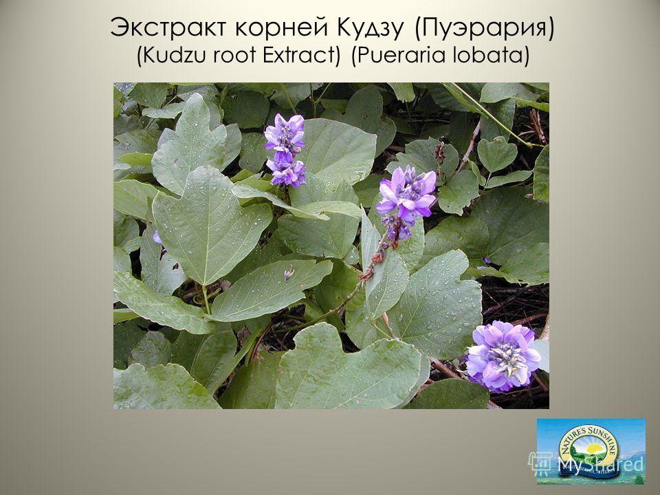 Экстракт корней Кудзу (Пуэрария) (Kudzu root Extract) (Pueraria lobata)