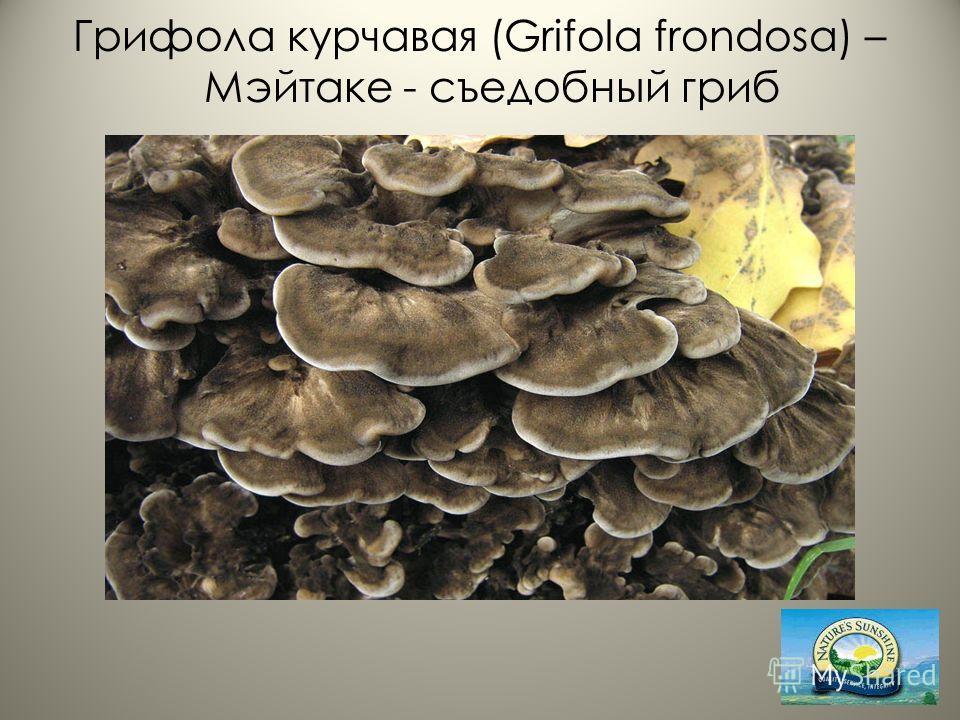 Грифола курчавая (Grifola frondosa) – Мэйтаке - съедобный гриб