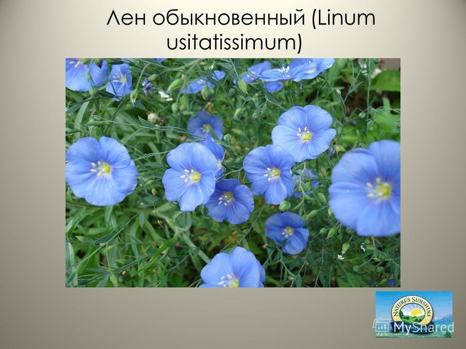 Лен обыкновенный (Linum usitatissimum)