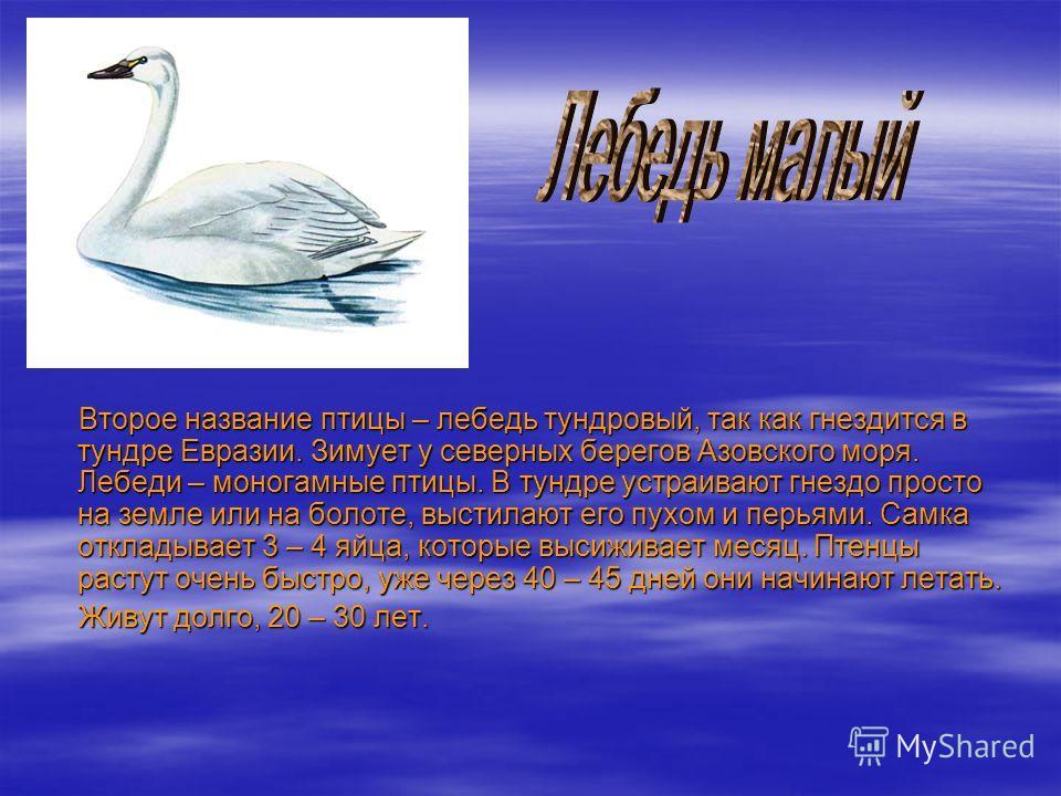 Второе название птицы – лебедь тундровый, так как гнездится в тундре Евразии. Зимует у северных берегов Азовского моря. Лебеди – моногамные птицы. В тундре устраивают гнездо просто на земле или на болоте, выстилают его пухом и перьями. Самка откладыв