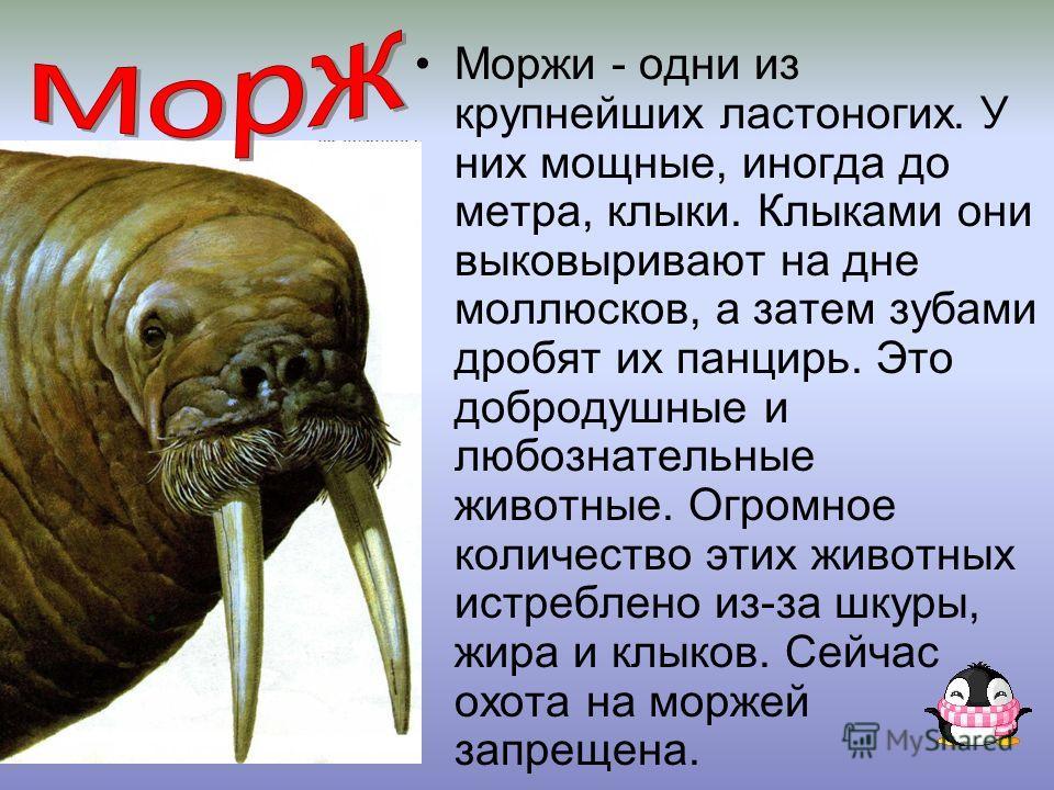 Моржи - одни из крупнейших ластоногих. У них мощные, иногда до метра, клыки. Клыками они выковыривают на дне моллюсков, а затем зубами дробят их панцирь. Это добродушные и любознательные животные. Огромное количество этих животных истреблено из-за шк