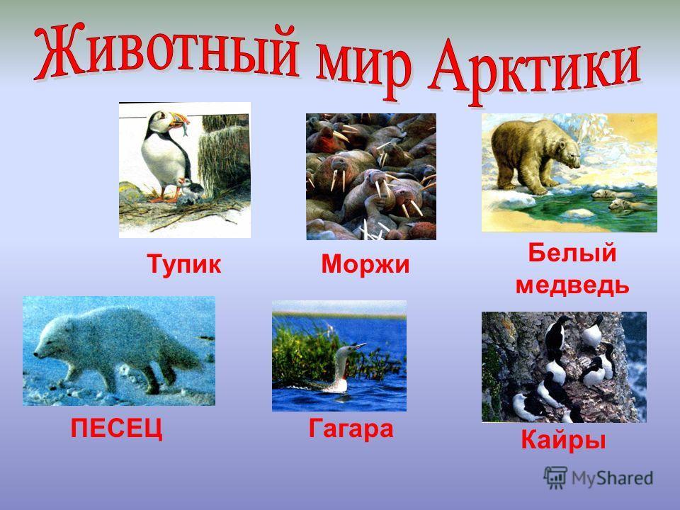 Моржи Белый медведь Тупик ПЕСЕЦГагара Кайры