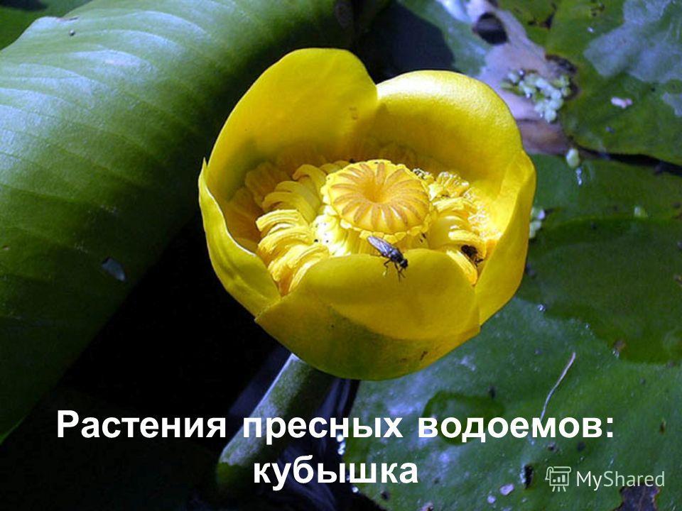 Растения пресных водоемов: кубышка