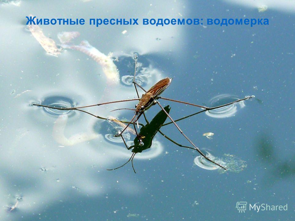 Животные пресных водоемов: водомерка