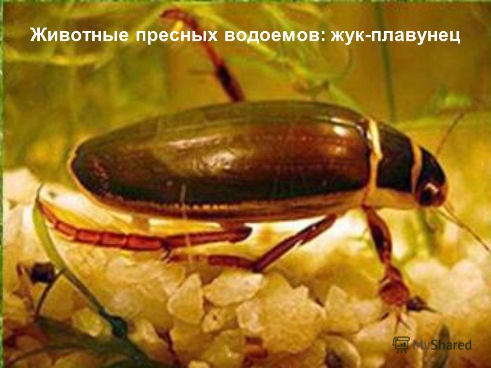 Животные пресных водоемов: жук-плавунец