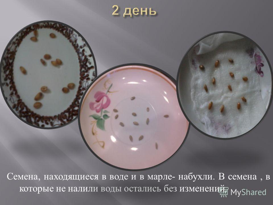 Семена, находящиеся в воде и в марле - набухли. В семена, в которые не налили воды остались без изменений.