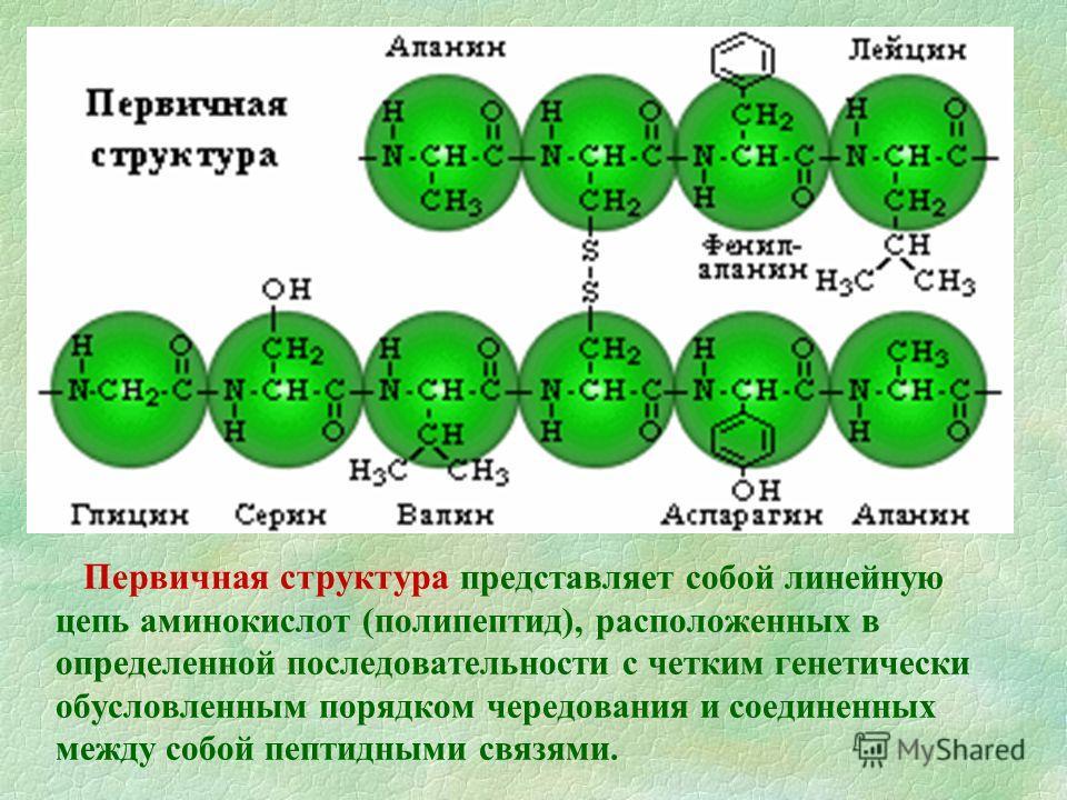 Первичная структура представляет собой линейную цепь аминокислот (полипептид), расположенных в определенной последовательности с четким генетически обусловленным порядком чередования и соединенных между собой пептидными связями.
