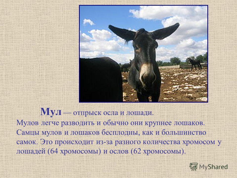 Мул отпрыск осла и лошади. Мулов легче разводить и обычно они крупнее лошаков. Самцы мулов и лошаков бесплодны, как и большинство самок. Это происходит из-за разного количества хромосом у лошадей (64 хромосомы) и ослов (62 хромосомы).