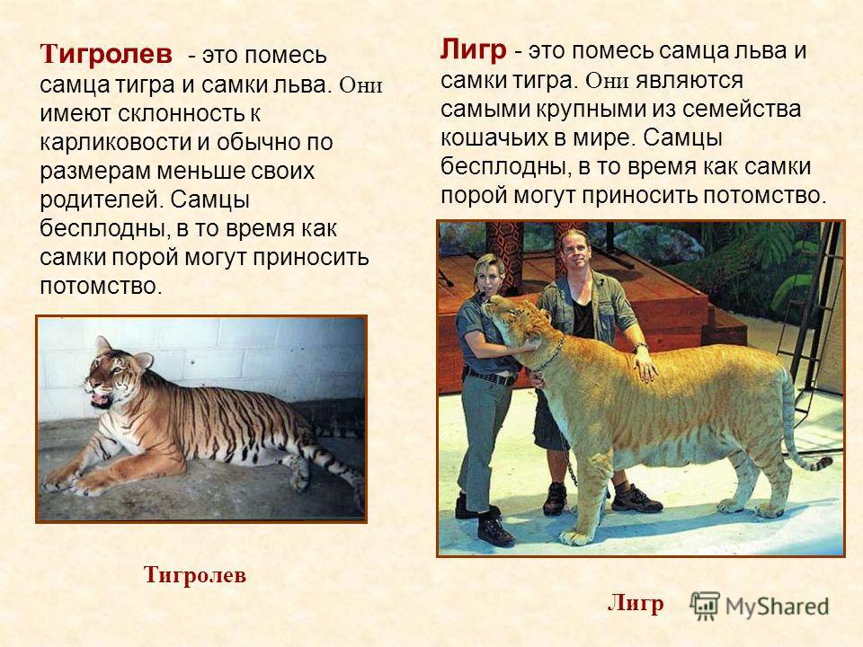 Лигр - это помесь самца льва и самки тигра. Они являются самыми крупными из семейства кошачьих в мире. Самцы бесплодны, в то время как самки порой могут приносить потомство. Лигр Тигролев Т игролев - это помесь самца тигра и самки льва. Они имеют скл