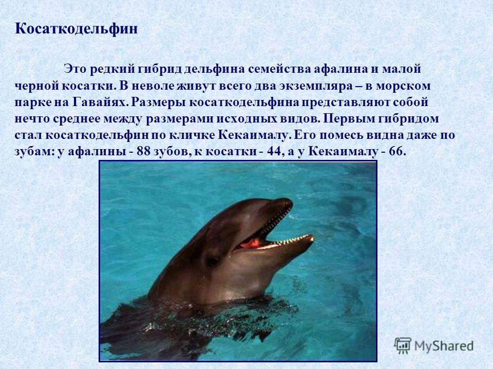 Косаткодельфин Это редкий гибрид дельфина семейства афалина и малой черной косатки. В неволе живут всего два экземпляра – в морском парке на Гавайях. Размеры косаткодельфина представляют собой нечто среднее между размерами исходных видов. Первым гибр