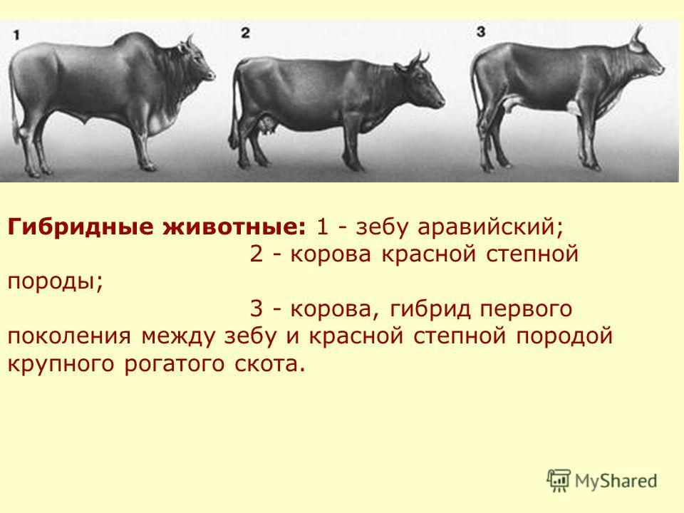 Гибридные животные: 1 - зебу аравийский; 2 - корова красной степной породы; 3 - корова, гибрид первого поколения между зебу и красной степной породой крупного рогатого скота.