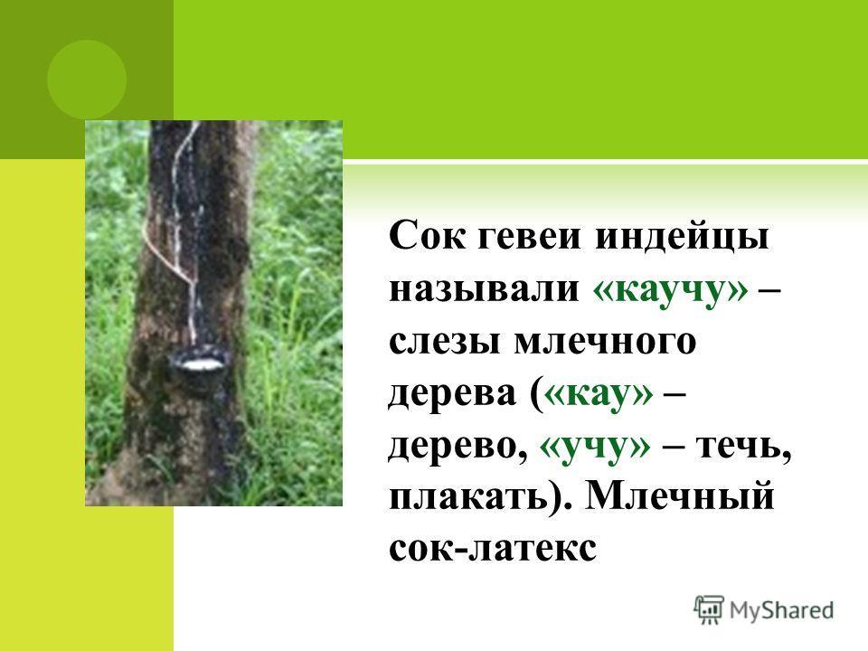 Сок гевеи индейцы называли «каучу» – слезы млечного дерева («кау» – дерево, «учу» – течь, плакать). Млечный сок-латекс