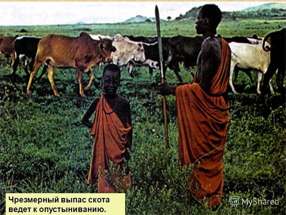 Чрезмерный выпас скота ведет к опустыниванию.
