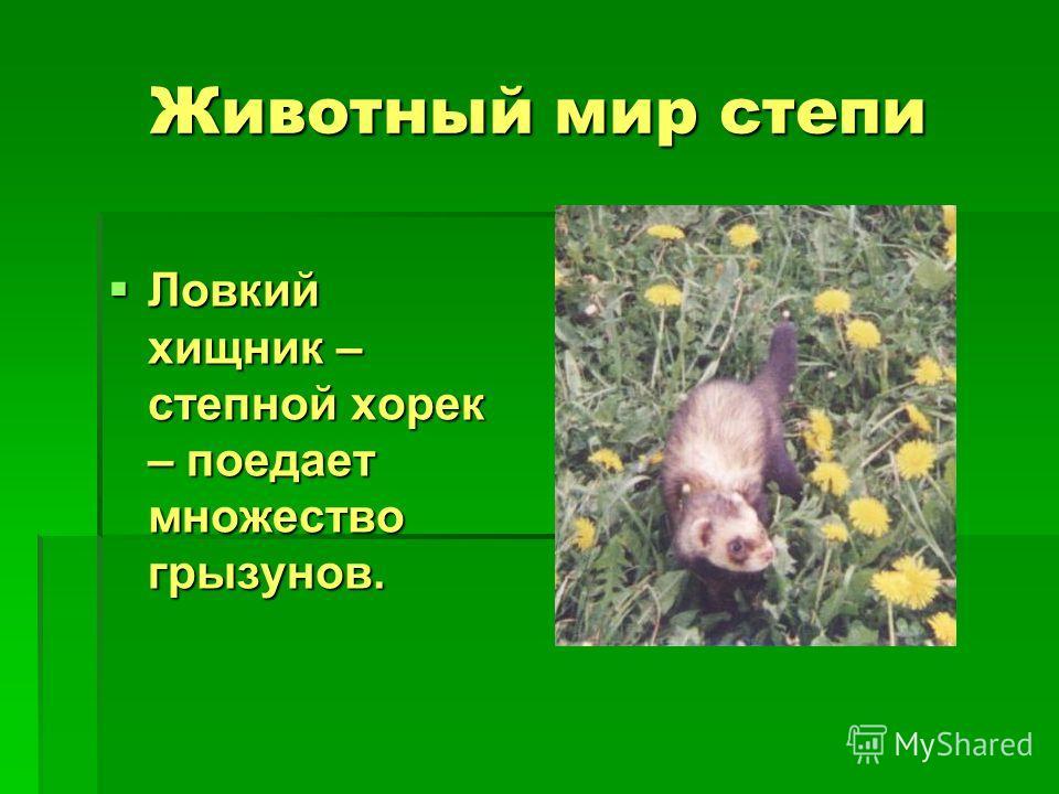 Животный мир степи Ловкий хищник – степной хорек – поедает множество грызунов. Ловкий хищник – степной хорек – поедает множество грызунов.